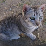 Melanouri horse farm. Критские коты. Домашние.