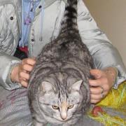 Критские коты. Кошь домашняя, на рыбе откормленная (хозяин рыбак)